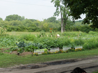 Our community garden produces 1,000's of pounds of veggies